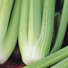Celery - Celebrity