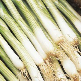 Onion - Spring - White Lisbon