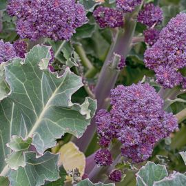 Sprouting Broccoli - Santee