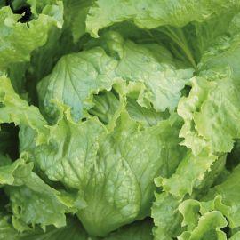 Lettuce - Webbs Wonderful