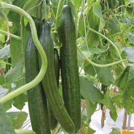 Cucumber - Burpless Tasty Green