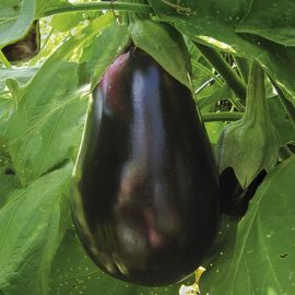 Aubergine - Blackbell Improved F1