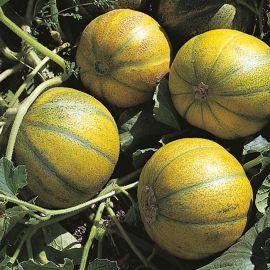 Melon - Ogen