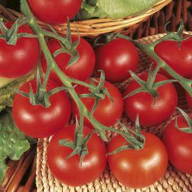 Tomato - Shirley F1