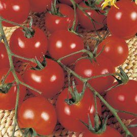 Tomato - Gardeners Delight