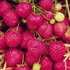 Strawberry - Honeoye