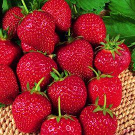 Strawberry - Cambridge Favourite