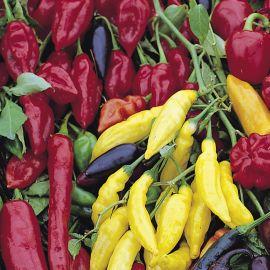 Pepper -Chilli - Tri-Colour Chilli