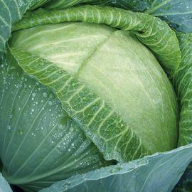 Cabbage - Kilaton F1