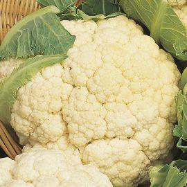 Cauliflower - Clapton F1