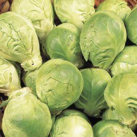 Brussels Sprout - Crispus