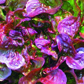 Lettuce - Red Oak Leaf