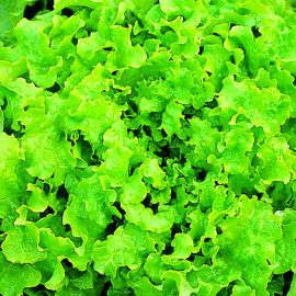 Lettuce - Green Lollo Bionda