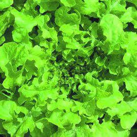 Lettuce - Green Salad Bowl