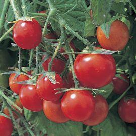 Tomato (Bush) - Tumbling Tom Red