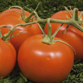 Tomato - Crimson Crush