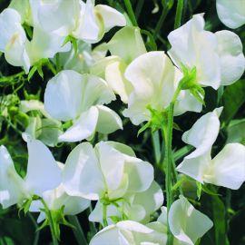 Sweet Pea - White
