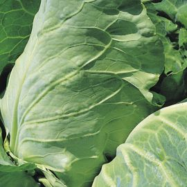 Cabbage - Duncan F1