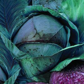 Cabbage - Red Autoro F1