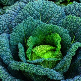 Cabbage - Wintessa F1