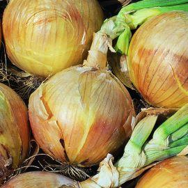 Onion - Hyton F1