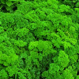 Parsley - Bravour
