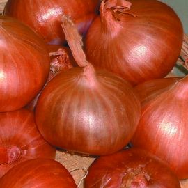Onion-Shallots - Matador F1