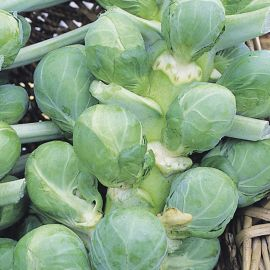 Brussels Sprout - Gardeners Kitchen F1 Icarus Type