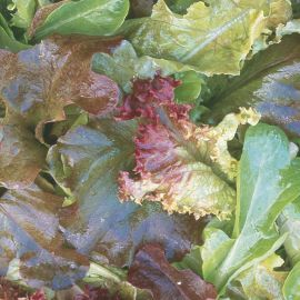 Lettuce - Continental Mixed Red