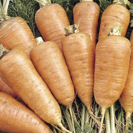 Carrot - Chantenay