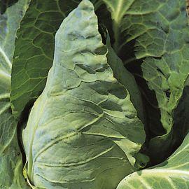 Cabbage - Greyhound