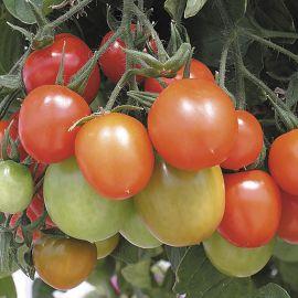 Tomato (Bush) - Tumbler F1