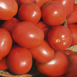 Tomato (Bush) - Roma