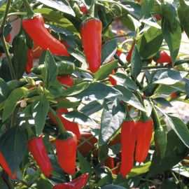 Pepper - Patio Chilli - Apache