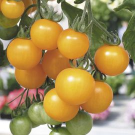 Tomato (Bush) - Tumbling Tom Yellow