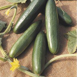 Cucumber - La Diva F1