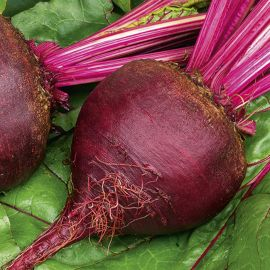 Beetroot - Boltardy