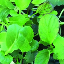 Cut & Grow Again - Mixed Pak Choi