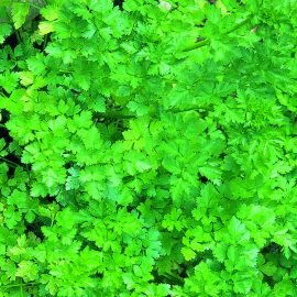Cut & Grow Again - Parsley Flat Leaf