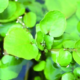 Cut & Grow Again - Watercress