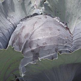 Cabbage - Lodero