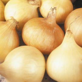 Onion - Santero