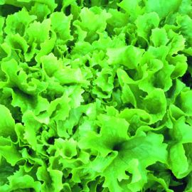 Lettuce - Green Oak Leaf