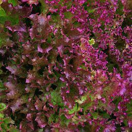 Lettuce - Red Lollo Rosso
