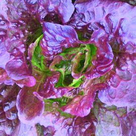 Lettuce - Red Batavian