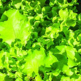 Lettuce - Green Batavian
