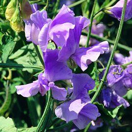 Sweet Pea - Lavender