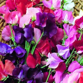 Sweet Pea - Mixed